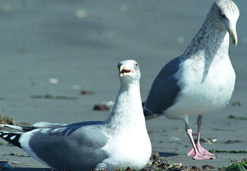 재갈매기(Herring gull)