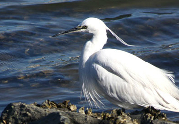 쇠백로(Little egret)
