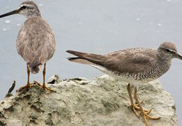 노랑발도요(Gray-tailed tattler)